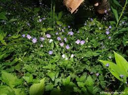 Veronica chamaedrys - Michigan Flora