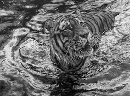 By Julia Rhodes, pencil drawing, tiger in water | Animal drawings, Wildlife  art, Animal art