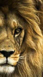 lion wallpaper iphone 6. Wonderful Iphone Lion Wallpaper Hd Iphone 6 Plus Best Image 2018 With A