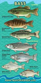 Bass Species Chart Know Your Stuff Beautlful Genres Of Fish Just Find The