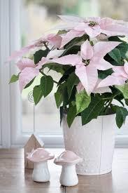 Rosa Weihnachtsstern Euphorbia Pulcherrima Landkindleben