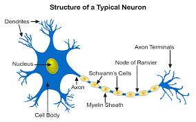 หน่วยการเรียนรู้ที่1 เรื่อง ระบบประสาทและอวั