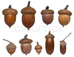 Types Of Acorns Chart Types Of Acorns Stock Image Of Acorn Different Type And