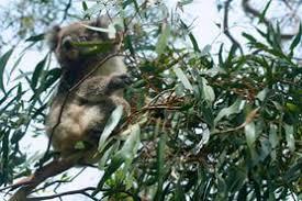 koala essay  koala essay