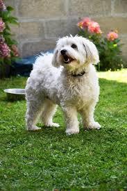 Growth Bichon Puppy Weight Chart Bichon