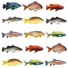 Fish Chart Stock Image F023 9596 Science Photo Library