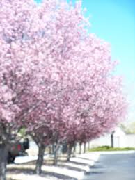 One Of The First US Fruit Trees Planted By European Settlers Is Plum Tree Not Producing Fruit