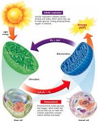 Photosynthesis, Cellular Respiration, & Fermentation - Biology Rocks!