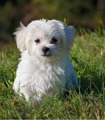 Teacup Maltese Growth Chart Maltese Puppy Development What You Need To Know Whelping