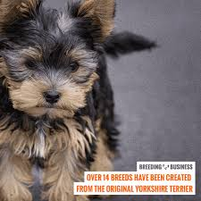 yorkshire terrier mixed breeds