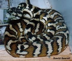 carpet python. morelia spilota variegata darwin or northwestern carpet python
