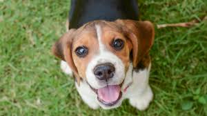 best small dogs for kids 1 beagle beagle
