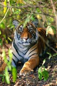 best tiger conservation ideas why are tigers tiger counts increases in efforts of wildlife conservation society