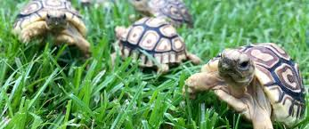 Leopard Tortoise Size Chart Giant South African Leopard Tortoise For Sale Online Baby