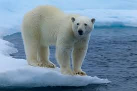mysterious polar bear eating shark can live for years  mysterious polar bear eating shark can live for 400 years making it world s longest living vertebrate mirror online