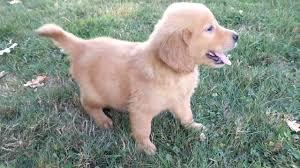 red golden retriever. Contemporary Red Bouncer  Red Golden Retriever Puppy For Sale And