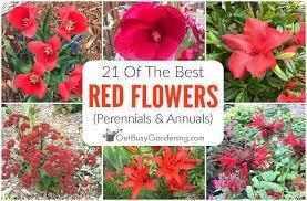 red flowers perennials annuals
