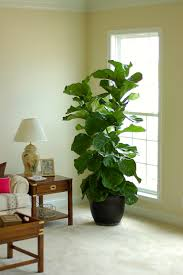 The Popular & Elusive Fiddle Leaf Fig Tree