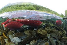 Speak Up For Wild Salmon In The Columbia And Snake Rivers