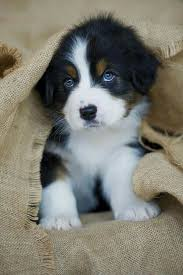 cute puppies with blue eyes. Fine Eyes Blue Eyes To Cute Puppies With Eyes Y