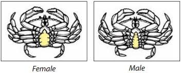Crab Species Chart Identify Your Catch Bc Sport Fishingguide