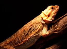 female translucent bearded dragon basking
