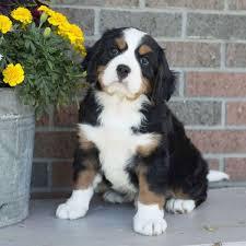 bernese mountain dog mix. Beautiful Mountain Miniature Bernese Mountain Dog Puppies For Sale For Mix M