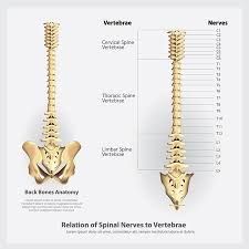 177 Spine Chart Stock Illustrations Cliparts And Royalty