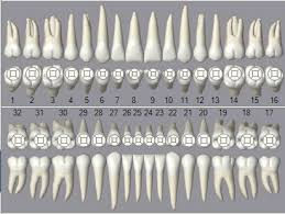 Open Dental Software Graphical Tooth Chart
