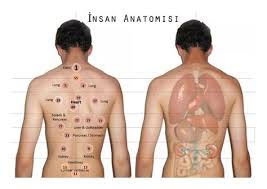 Hijama Points Corresponding With Anatomy Of Organs Hijama