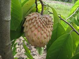 Annona Senegalensis  WikipediaAnnona Fruit Tree