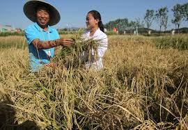 chinese rice field. Interesting Rice Seawater Rice Fields Offer Ample Harvest On Chinese Rice Field N