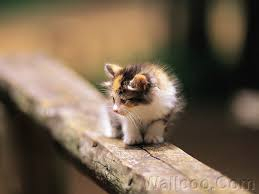 fluffy baby calico kittens. Fine Calico Fluffy Baby Calico Kitten On Wooden Fence My Heart  For Baby Calico Kittens Pinterest