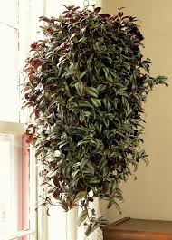 this wonderful houseplant has beautiful trailing stems with attractive zebra patterned foliage that look stunning grow it in a pot or hanging basket