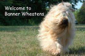 banner wheatens
