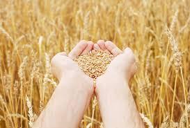 Казахстан Рентабельность крестьянского труда падает цены на  Казахстан Рентабельность крестьянского труда падает цены на пшеницу самые низкие за последние три года
