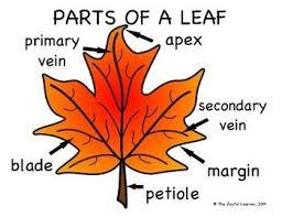 Fall Leaf Chart Fall Of Leaf Diagram Wiring Diagrams
