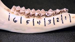Whitetail Jawbone Aging Chart White Tailed Deer Jawbone Aging Part 1 Tooth Replacement