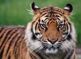images of tigers. Unique Tigers Impressive But Unimpressed And Images Of Tigers