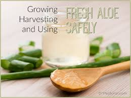 Uses Of Kitchen Garden Aloe Vera Uses How To Grow And Use Fresh Aloe Plants