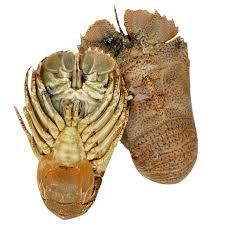 Buy fresh Moreton Bay Bugs - Whole and ...