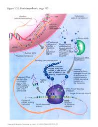 sample essay about protein synthesis essay steps in protein synthesis step 1 the first step in protein synthesis is the transcription of mrna from a dna gene in the nucleus