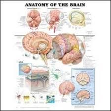 Brain Chart Anatomy Of The Brain Chart