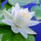 Resultado de imagem para imagens flor de lotus vermelha