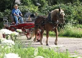 horses spur acres oberlander draft horses