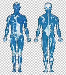 The Muscular System Anatomical Chart Muscle Anatomy Human