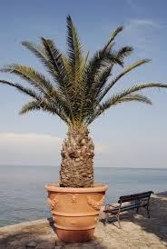 full sun palm trees growing palm