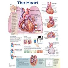 Anatomy Of The Heart Chart The Heart Anatomical Chart Poster Laminated