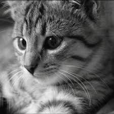 alimentation chat diabte sucré