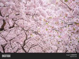 Blooming Sakura Cherry Image Photo Free Trial Bigstock